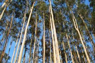 O eucalipto móvese en máximos de prezos, en tanto o piñeiro recupérase dos lumes