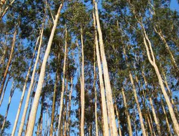 Unha empresa madereira china busca en Galicia eucalipto con diámetros maiores a 60 centímetros