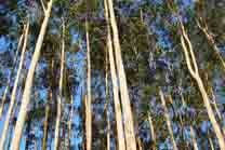 Ence pecha acordos para a a compra de eucalipto con produtores de Mañón