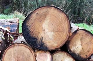 Fomento Forestal venderá a Ence ata 60.000 toneladas de madeira nos próximos 12 meses