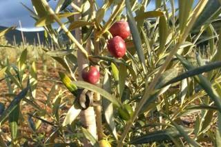 Coidados da oliveira durante o outono-inverno