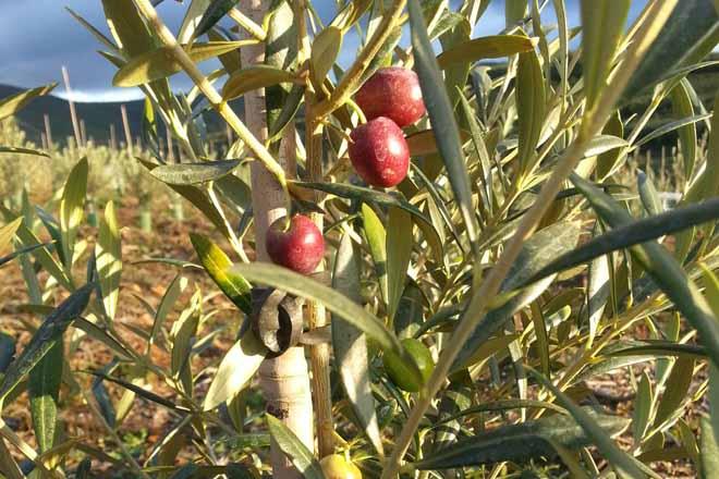 A oliveira volve a Galicia