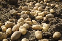 Consellos para o cultivo da pataca