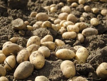 Jornada en Lalín sobre plagas de cuarentena en la patata
