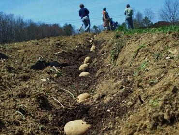 Recomendacións para plantar patacas neste ano chuvioso