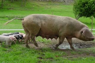 Xornada técnica sobre cría de Porco Celta