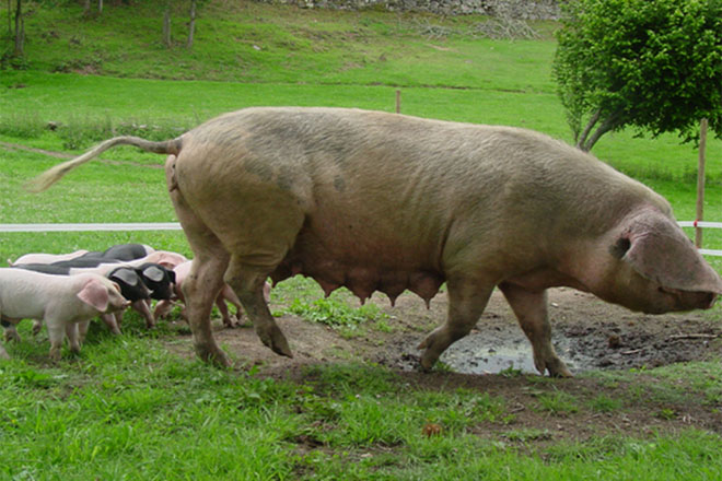 porco_celta_01_standar