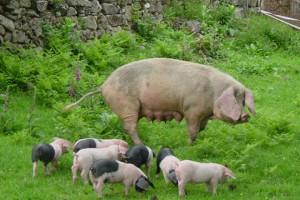 Cerda de raza Porco Celta con sus crías