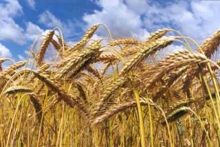 Baixan os cereais e a soia na UE en febreiro