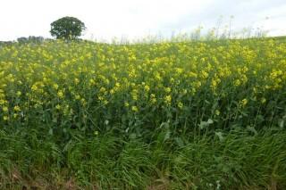 Cultivos alternativos para o pago verde da PAC : a colza