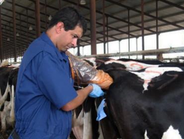 Taxa de preñez de 21 días: Como conseguir unha alta eficienciareprodutivaen vacún de leite