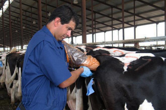 ¿Como inflúen as hormonas nas perdas de xestación en vacas leiteiras?