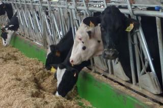 Coidados da vaca antes e despois do parto