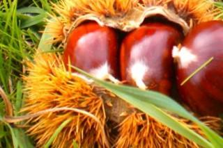 Ábrese a convocatoria de axudas para plantacións de castiñeiros de froito