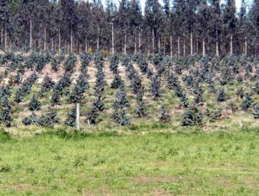 O eucalipto ocupa unhas 30.000 hectáreas en terras agrarias