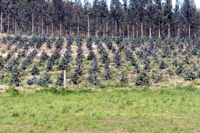 eucaliptos prado estandar