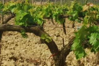 Curso de viticultura organizado pola EVEGA