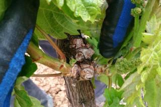 Coidado da viña en primavera (I): a selección de gromos