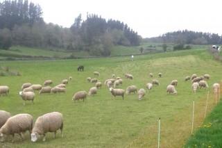 """""""As ovellas xogan un papel ambiental que non está recoñecido"""""""