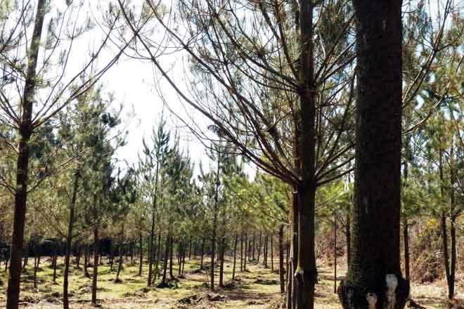 plantación pinos estandar