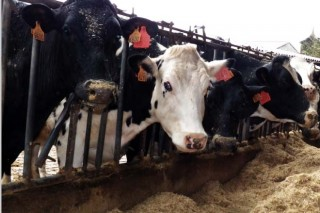 As entregas de leite apuntan a un leve rebasamento da cota