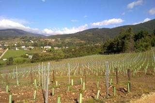 Autorizacións para 73 novas hectáreas de viñedos en Galicia