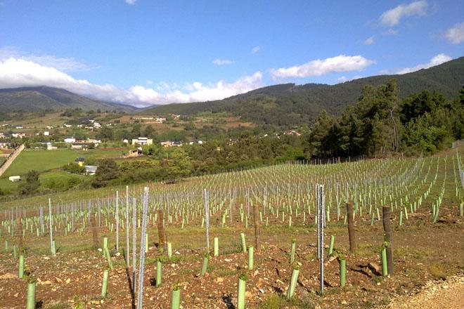 O Goberno prorroga a validez das autorizacións para plantacións de viñedo