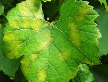 Enervin®, a protección máis completa do viñedo fronte ao mildiu