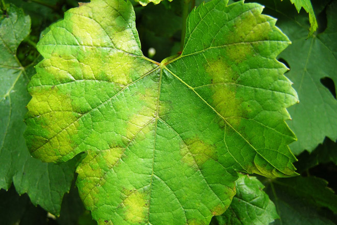 Primeiros síntomas de mildeu nos viñedos esta semana