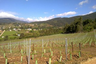 Resumo de como serán as autorizacións para plantar viñedo a partir do 1 de xaneiro