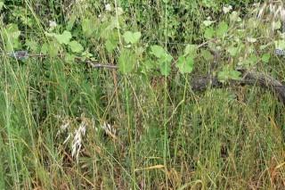 Recomendan controlar a herba nas viñas para evitar que reteña humidade e dificulte a aireación