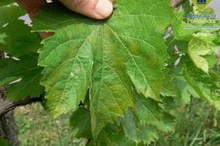 Recomendan tratar contra mildeu e oídio en viñedo e controlar a cuberta vexetal