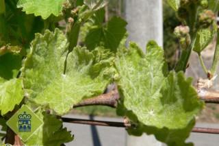 Coidados da viña durante esta semana