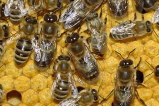Baixa a mortalidade das abellas na Unión Europea