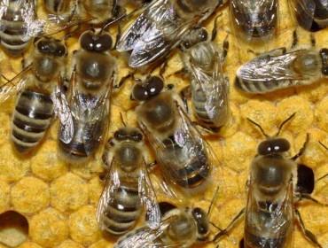 AEFSAconfirma que os pesticidasneonicotinoidesson prexudiciais para as abellas