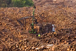 A cadea forestal galega acada récords de cortas e exportacións