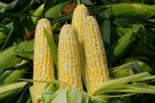 O cultivo do millo doce: unha alternativa para a agricultura tradicional