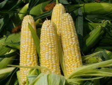 40 agricultores de A Limia empezarán este año a cultivar maíz para grano