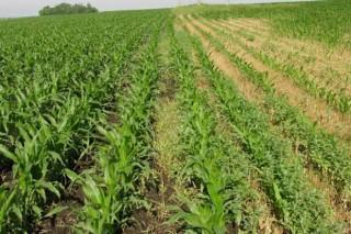 Prevén que a seca provoque a perda de ata o 30% da colleita de millo