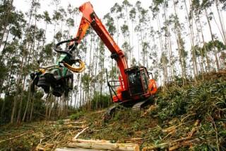 Reactivación no mercado do eucalipto e lentitude no piñeiro polas cortas poslume