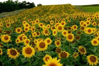 Cultivos alternativos para o pago verde da PAC (I): o xirasol