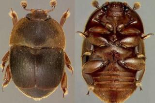 Un pequeno escaravello africano, novo inimigo das abellas