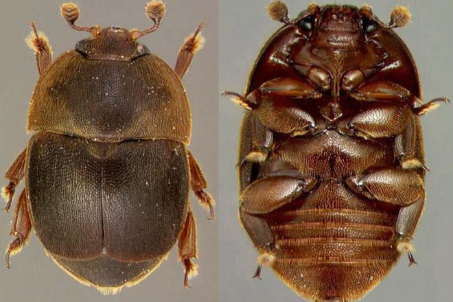 'Aethina tumida', un nuevo enemigo de las abejas