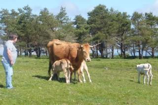 Importes das axudas asociadas a gandarías de vacún de cebo