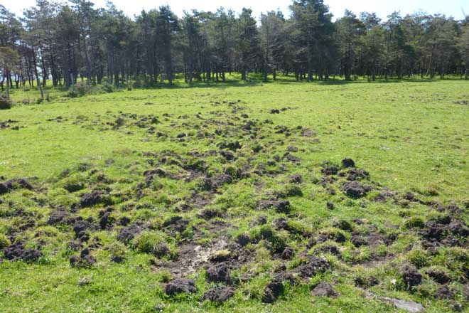 Os cazadores ven insuficientes as medidas para previr danos do xabarín en cultivos