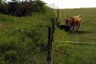 As vacas teñen bebedeiros con traída de auga en todas as parcelas.