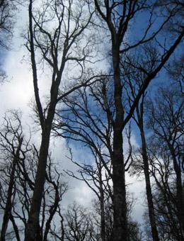 Os carballos de fuste alto escasean en Galicia.