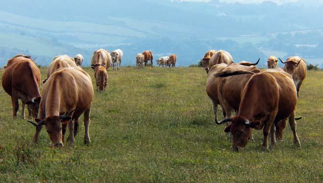 Parideiras de outono en vacún de carne, o caso de Mamoelas