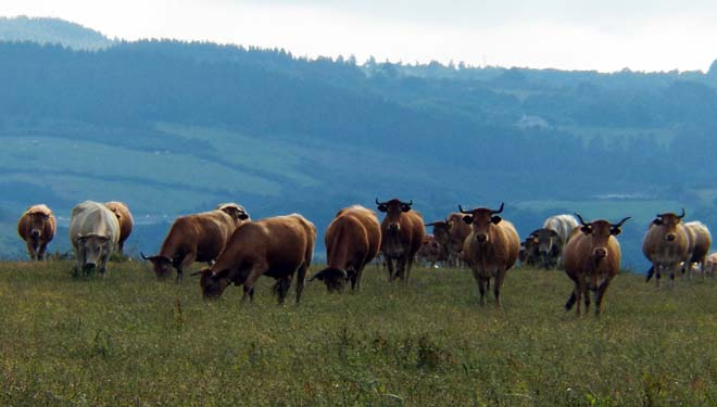 Medidas de Ternera Gallega e Vaca Galega / Boi Galego ante o coronavirus