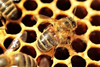Varroaform, un proxecto innovador para combater eficazmente a varroa